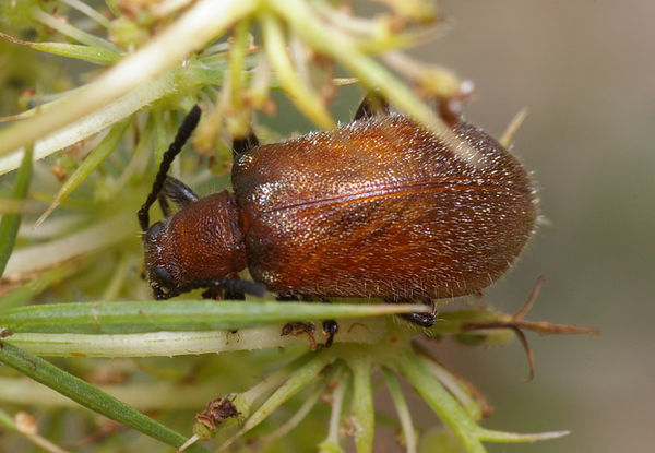 Brown Darkling Beetle | Ecnolagria grandis photo