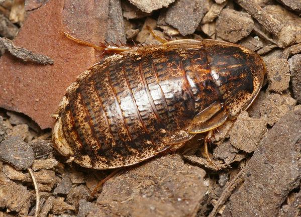 Trilobite Cockroach | Laxta sp photo