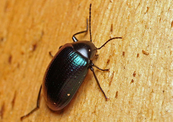 Chalcopterus Beetle | Chalcopteroides sp photo