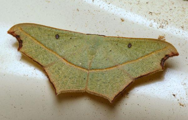 no common name | Gnamptoloma aventiaria photo