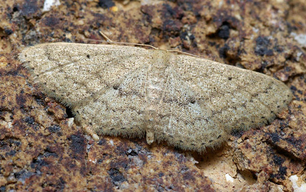unknown | Geometridae family sp2 photo
