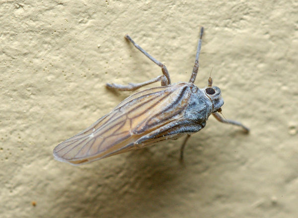 Delphacid planthopper | Delphacidae family  photo