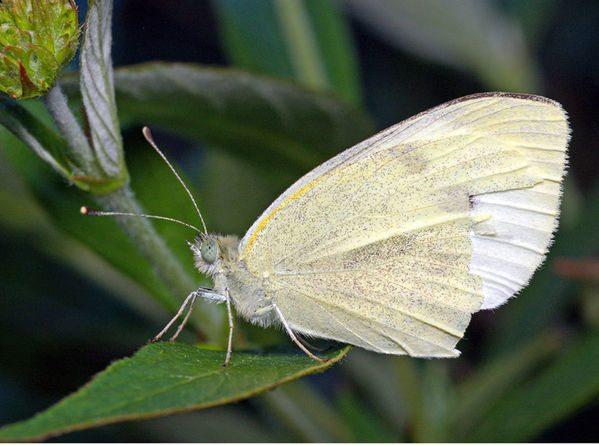 Cabbage White Butterfly | Pieris rapae photo