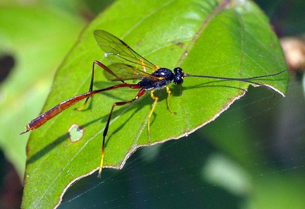Gasteruptiid Wasp | Gasteruptiidae family  photo
