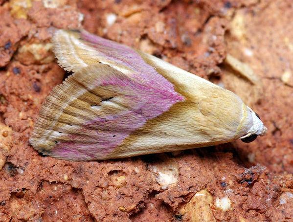 Eublemma moth | Eublemma cochylioides photo