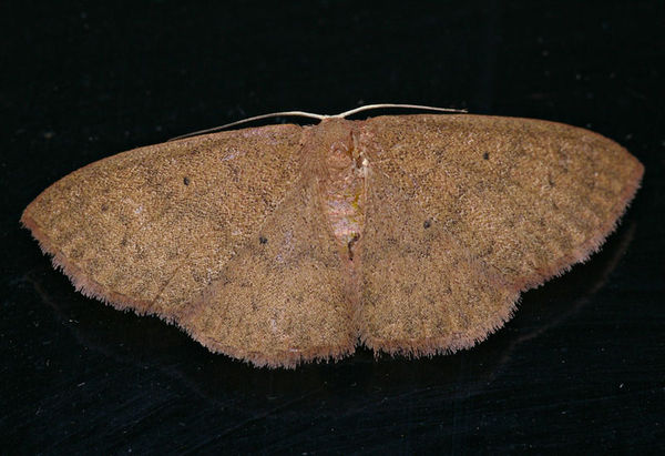 unknown | Geometridae family sp3 photo