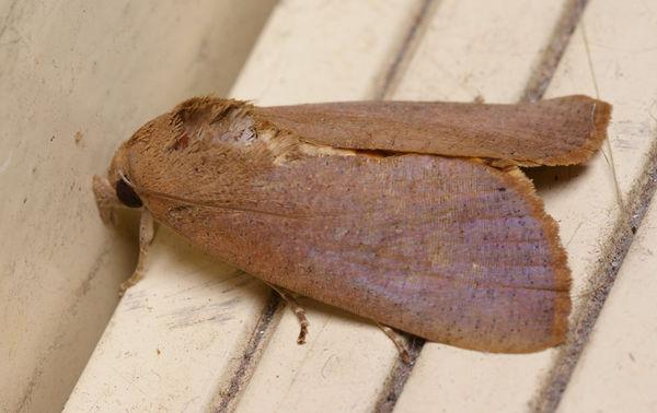 Fruit-piercing moth | Noctua sp photo