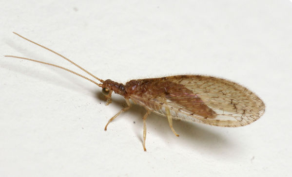 Brown Lacewing | Micromus sp photo