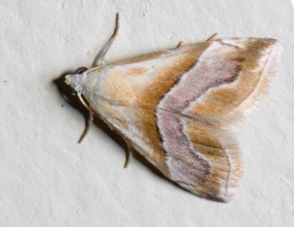 Eublemma moth | Eublemma sp photo