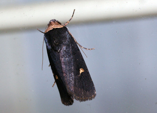 no common name | Proteuxoa sp photo