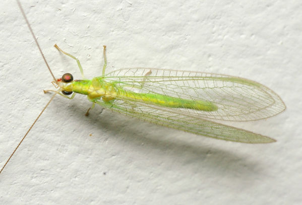 Green Lacewing (Chrysopidae family )