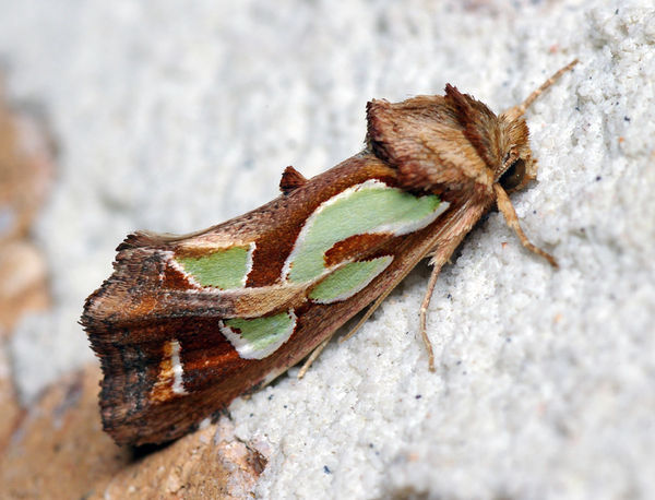 Green Blotched Moth | Cosmodes elegans photo