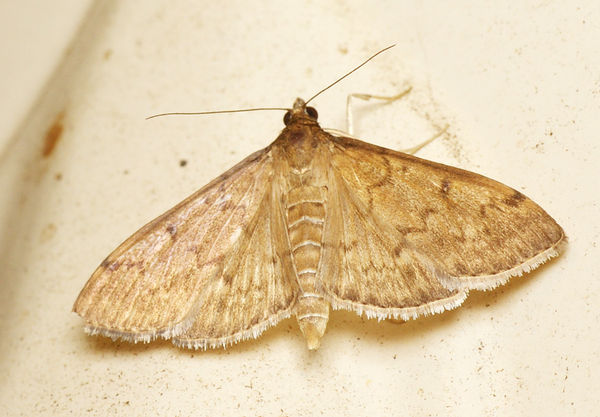 Webworm | Herpetogramma sp photo