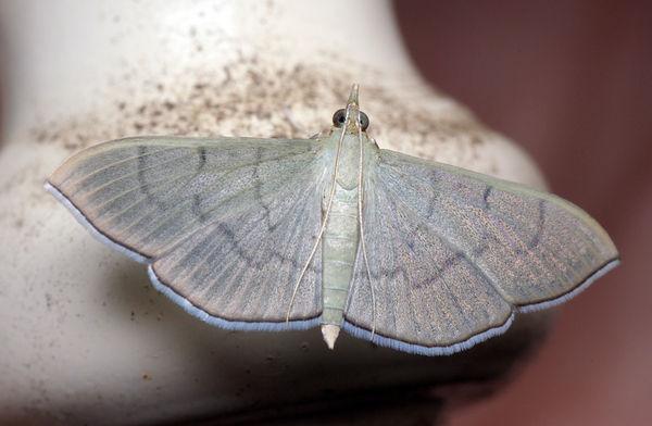 no common name | Lamprophaia ablactalis photo