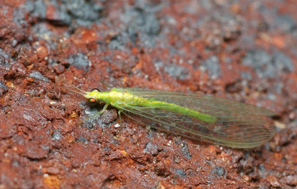 Green Lacewing   Chrysopidae family  photo