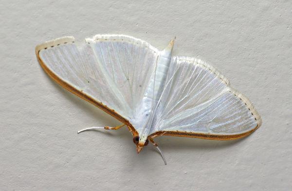 Crambid Moth | Palpita sp photo