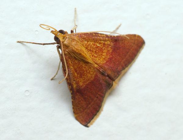 no common name   Endotricha pyrosalis photo