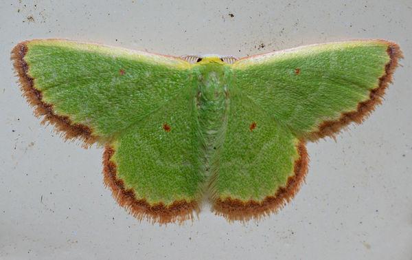 Emerald Moth | Eucrostes disparata photo