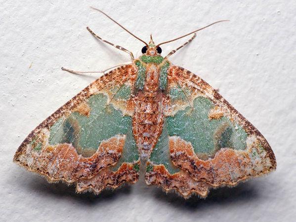Bizarre Looper Moth | Anisozyga pieroides photo