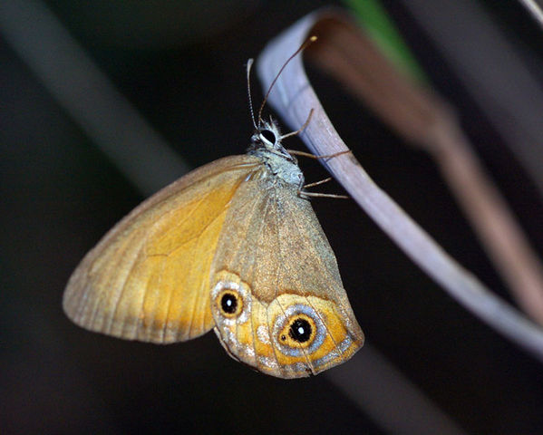 Orange Ringlet | Hypocysta irius photo