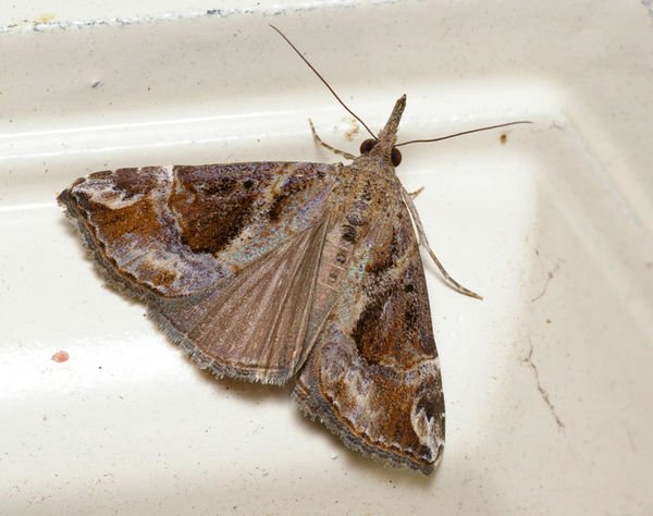 Hypena moth | Hypena laceratalis photo