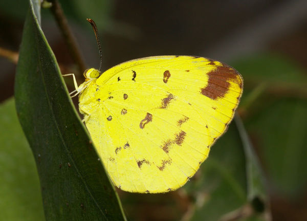 Large Grass-yellow | Eurema hecabe photo
