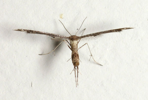 Plume Moth | Lantanophaga pusillidactyla photo