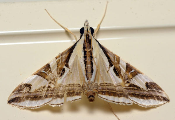 Crambid Moth | Agrioglypta excelsalis photo
