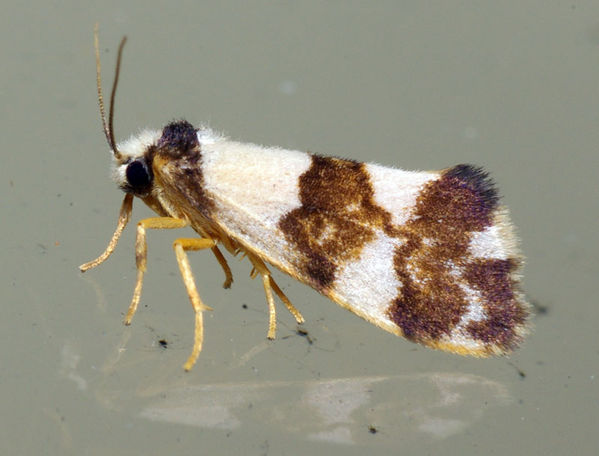 Wool Moth | Tineidae family  photo