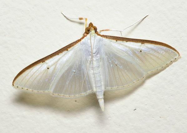 Crambid Moth | Palpita sp photo