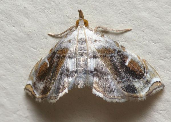Crambid moth   Trichophysetis neophyla photo