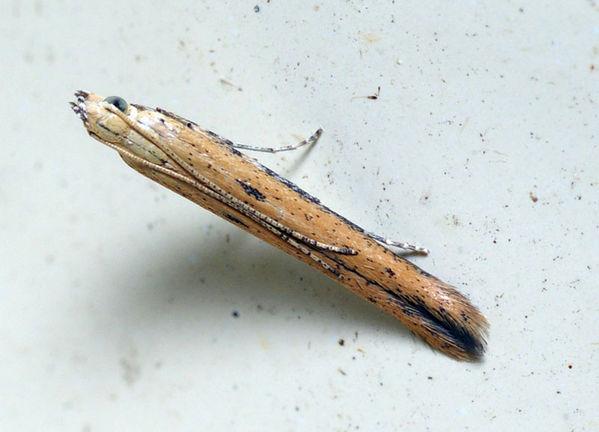 Cosmopterigid moth | Cosmopterigidae family  photo