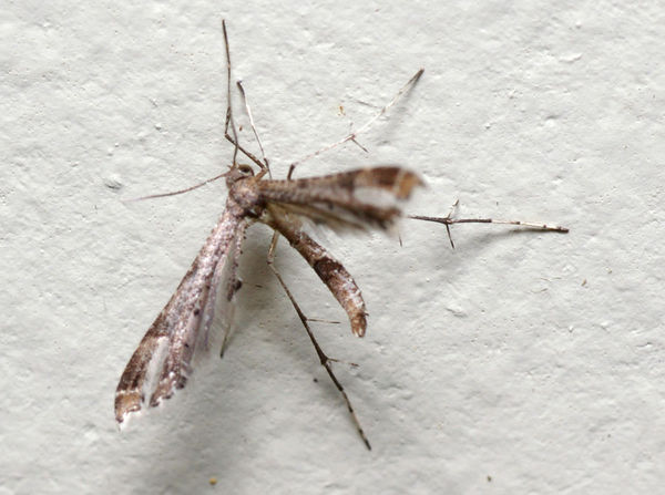 Plume Moth | Lantanophaga pusillidactyla photo