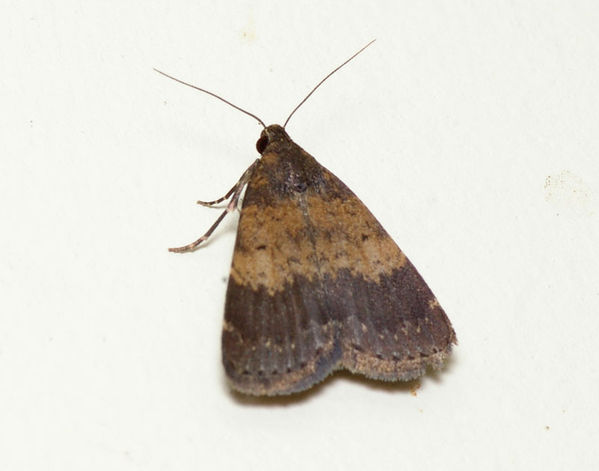 no common name   Hydrillodes sp photo