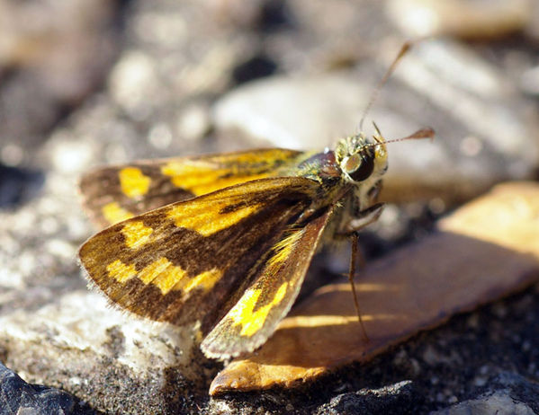 Greenish Grass Dart | Ocybadistes walkeri photo