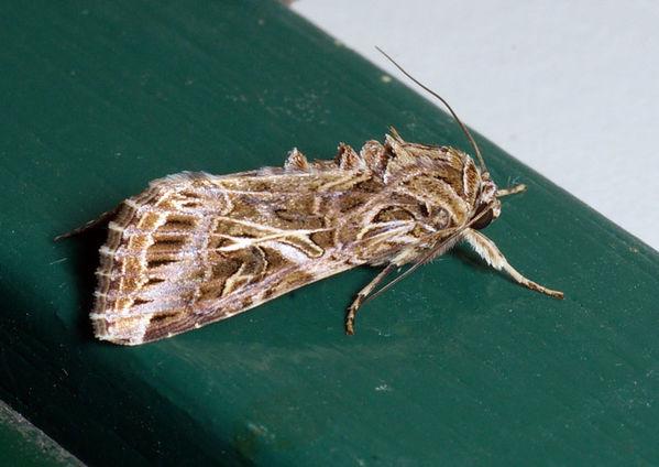 Armyworm | Spodoptera litura photo