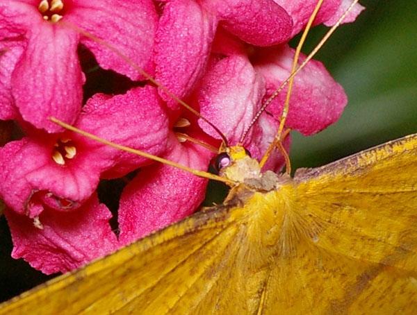 no common name | Eumelea rosalia photo