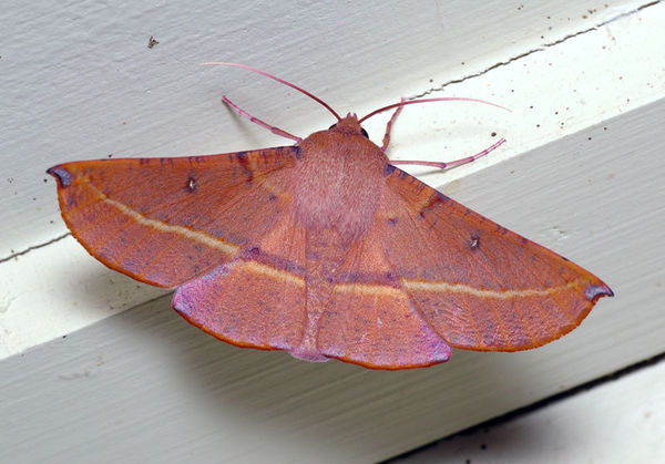 Pink Bellied Moth | Oenochroma vinaria photo