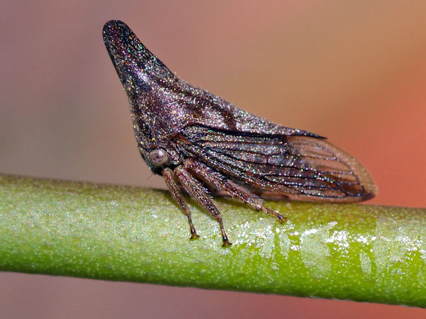 Treehopper   Membracidae family  photo
