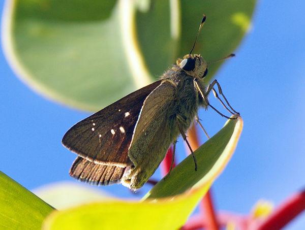 Lyell's Swift   Pelopidas lyelli photo