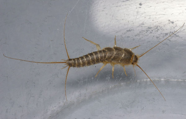 Silverfish | Ctenolepisma longicaudata photo