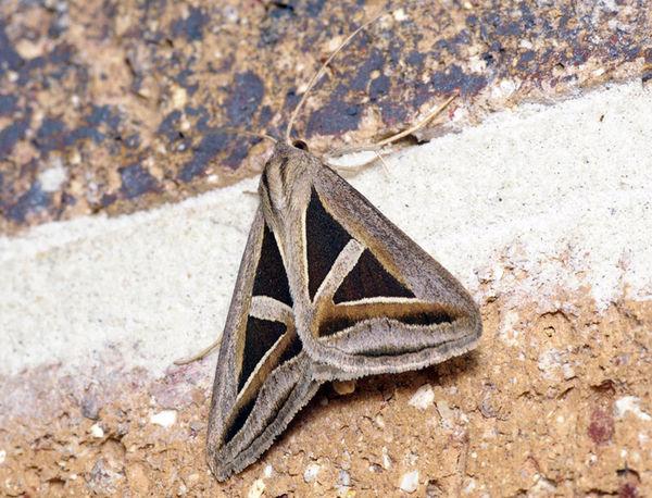 Semi-looper moth | Trigonodes hyppasia photo