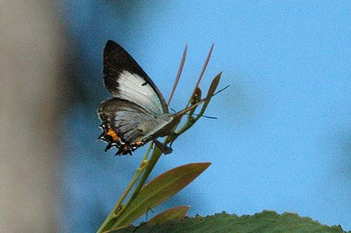 Imperial Hairstreak | Jalmenus evagoras photo
