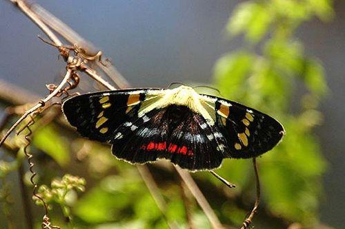 Joseph's Coat Moth   Agarista agricola photo
