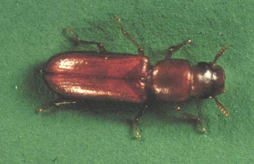 Longheaded Flour Beetle | Latheticus oryzae photo
