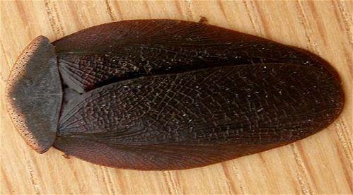 Bark Cockroach | Laxta granicollis photo