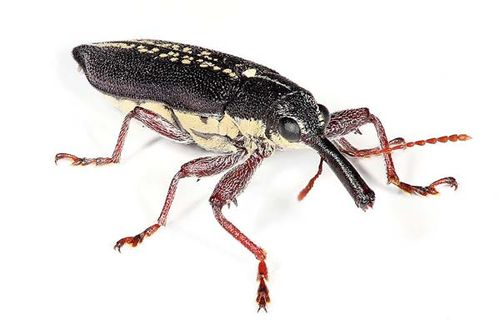 Long Nosed Weevil | Rhinotia hemistictus photo