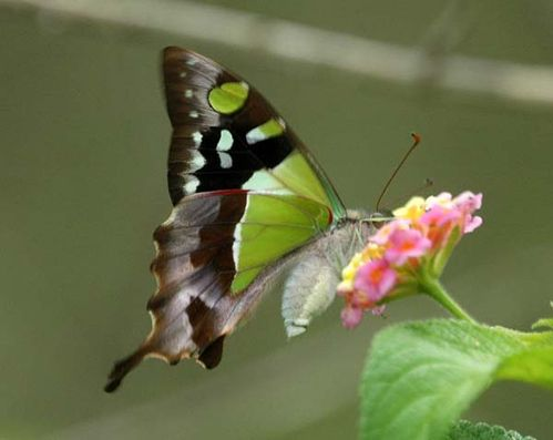 Macleay's Swallowtail | Graphium macleayanus photo