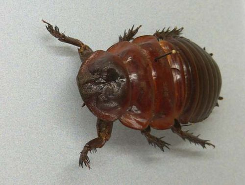 Giant Burrowing Cockroach | Macropanesthia rhinoceros photo