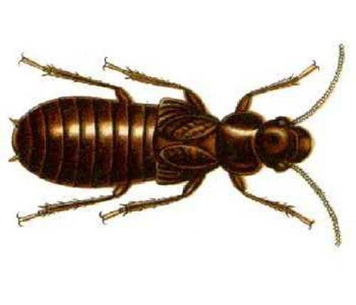 Giant Northern Termite | Mastotermes darwiniensis photo